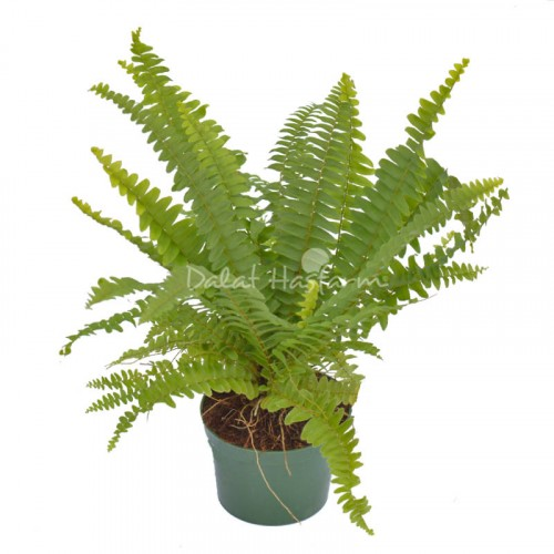 Nephrolepis Green Delight