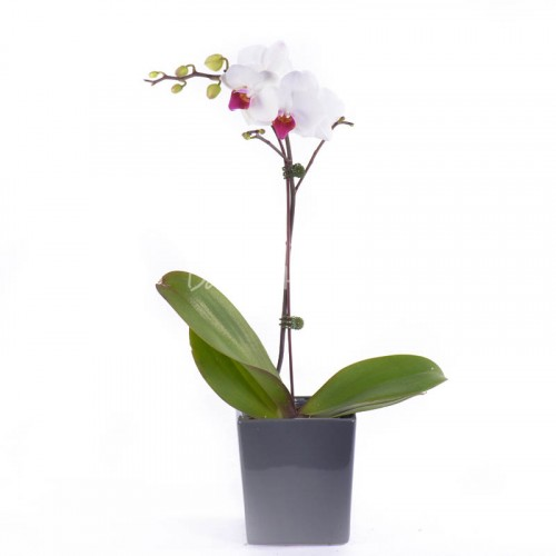 Phalaenopsis Mini