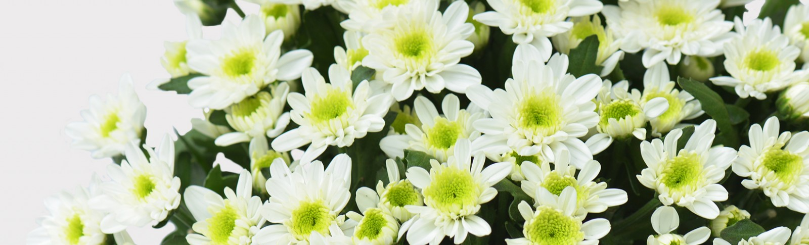 Spray Chrysanthemum